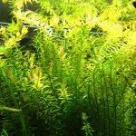 Fresh Water Plant
