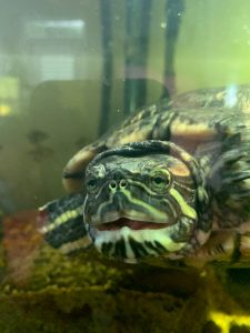 Turtle Aquarium Cleaning and Maintenance